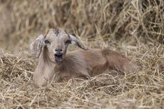 在干草床上的可爱的棕色山羊与有趣的表示的 开放的嘴 图库摄影