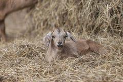在干草床上的可爱的棕色山羊与有趣的表示的 库存照片