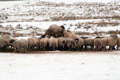 在干草捆的绵羊 免版税库存照片