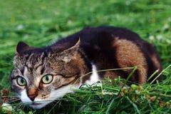 在干草的一只小的猫在攻击之前 图库摄影