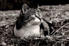 在干草的一只小的猫在攻击之前 库存照片