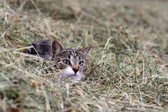 在干草的一只小的猫 图库摄影