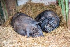 在干草的两头猪睡眠 免版税库存照片