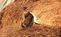 在干草的俏丽的猫 库存图片