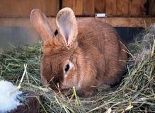 在干草的兔子 免版税库存照片