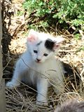 在干草的农厂小猫 库存照片