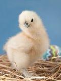 在干草的复活节小鸡 库存图片