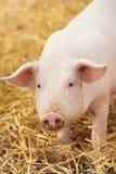 在干草的新小猪在养猪场 免版税图库摄影