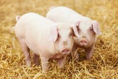 在干草的新小猪在养猪场 库存图片
