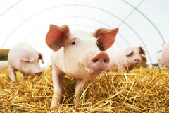 在干草的新小猪在养猪场 免版税库存照片