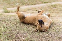 在干草的泰国流浪狗 免版税库存照片