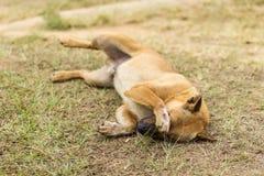 在干草的泰国流浪狗 库存照片