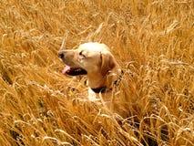 在干草的狗 库存图片