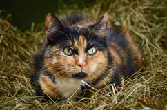 在干草的猫 图库摄影