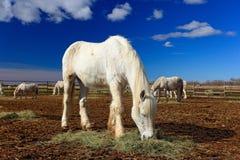 在干草的美味的白马饲料与三匹马在背景,深蓝天空与云彩, Camargue,法国中 在马fol的夏日 免版税库存照片