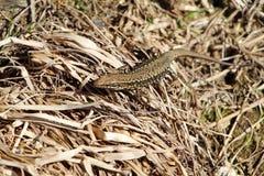 在干草的蜥蜴 免版税库存照片