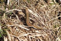 在干草的蜥蜴 库存图片