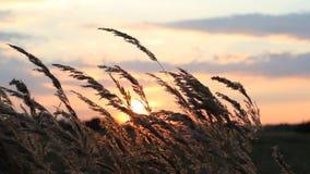 在干草的金黄耳朵背景的美丽的桃红色和灰色云彩  股票录像
