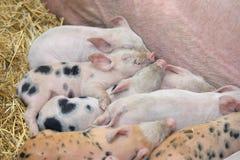 在干草的年轻小猪睡眠 库存图片