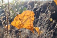 在干草背景的秋天橙色白杨树叶子  秋天背景 免版税图库摄影