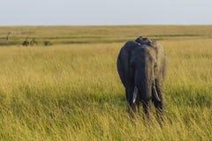 在平原的大象 库存照片