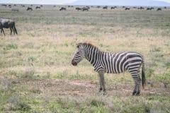 在平原的斑马在非洲 免版税库存图片