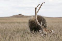 在平原的豪猪由鹿鹿角 库存图片