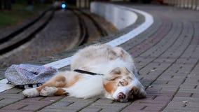 在平台的逗人喜爱的疲乏的狗 股票视频
