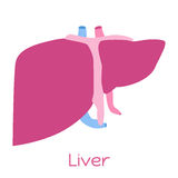 在平的样式的肝脏例证 内脏象,内脏 免版税库存图片