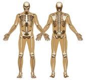 在平的身体背景的人的骨骼 库存照片
