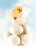 在平衡的小鸡 图库摄影