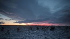 在平衡的驯鹿的令人惊讶的天空视图食用饲料,在北极 股票视频