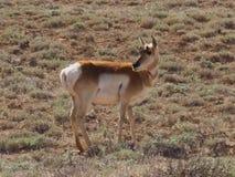 在平黄色的猫的羚羊 库存图片