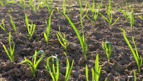 在年轻绿色新芽附近行的运动自温室晴天 股票视频