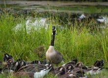 在幼鹅围拢的高草旁边的加拿大鹅 库存照片