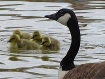 在幼鹅的加拿大鹅神色 图库摄影