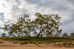 在幽谷海伦峡谷的庄严产树胶之树 免版税库存照片