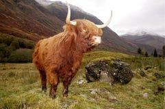 在幽谷Coe,苏格兰的高地母牛 库存图片