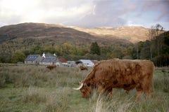 在幽谷Coe,苏格兰的高地母牛 免版税库存照片