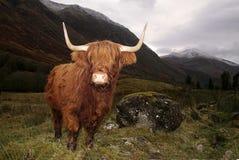 在幽谷Coe,苏格兰的高地母牛 免版税库存图片