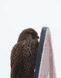 在广告牌后的鹰皮 免版税库存图片