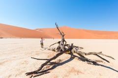 在庄严沙丘围拢的风景结辨的金合欢树的旅游采取的照片在Sossusvlei,纳米比亚沙漠, Namib Naukluft N 图库摄影