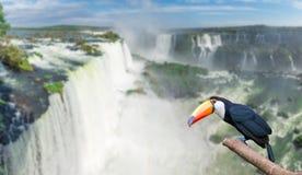 在庄严cataratas Iguasu秋天的Toucan 免版税库存图片