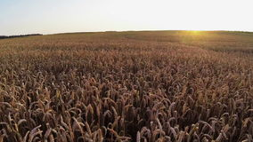 在庄稼领域上的飞行在日落,鸟瞰图 库存照片