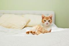 在床上的姜猫 免版税库存照片