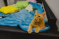 在床上的姜猫 免版税库存图片