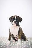 在床上的拳击手小狗 免版税库存照片