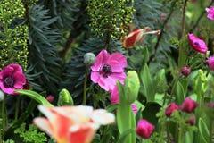 在床上的桃红色银莲花属 免版税库存照片