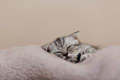 在床上的睡觉逗人喜爱的灰色小猫 垂耳苏格兰猫 免版税库存图片