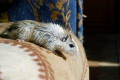 在床上的逗人喜爱的灰色小的老鼠 免版税库存图片